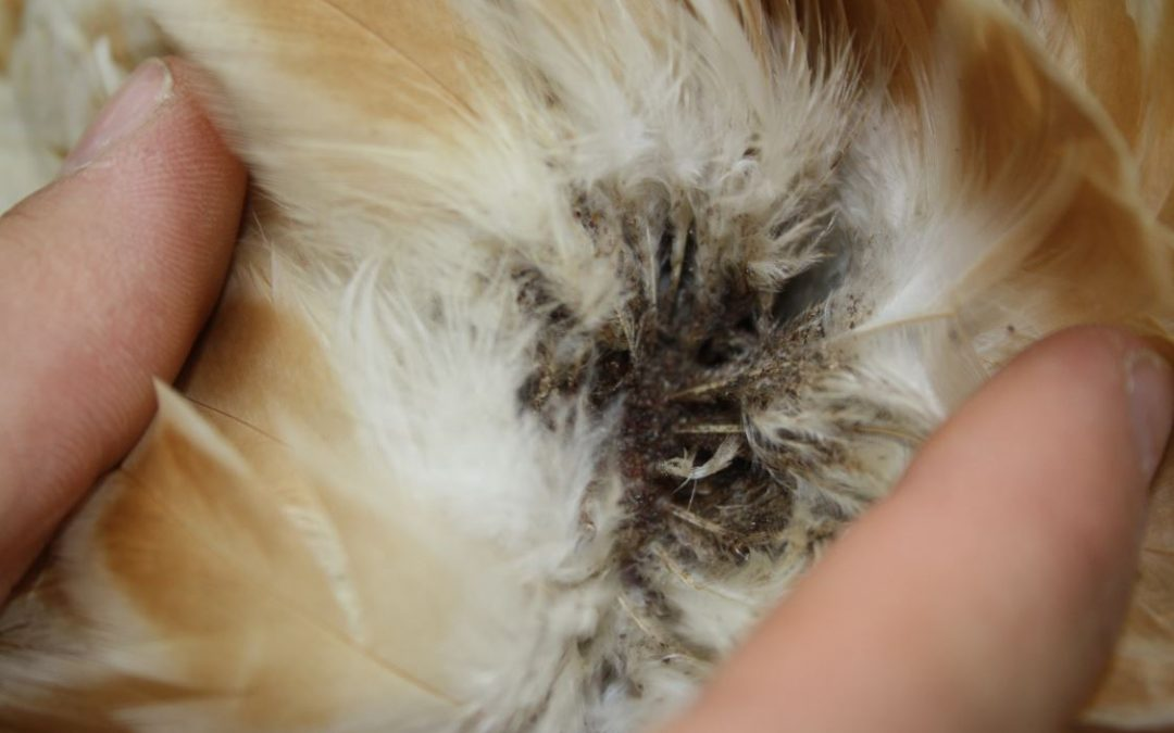 Acaro rosso pidocchio pollino parassita gallina