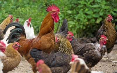 Quanti galli nel pollaio? Rapporto numero galli / galline